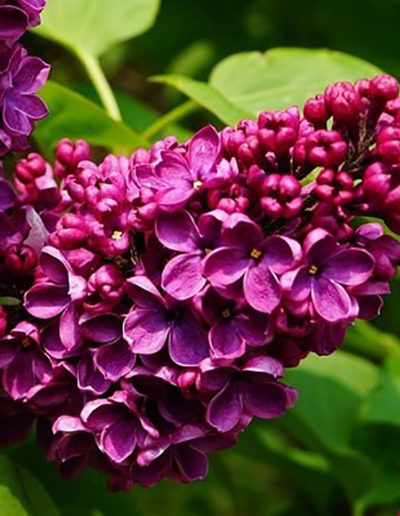 lilas-charles-joly52