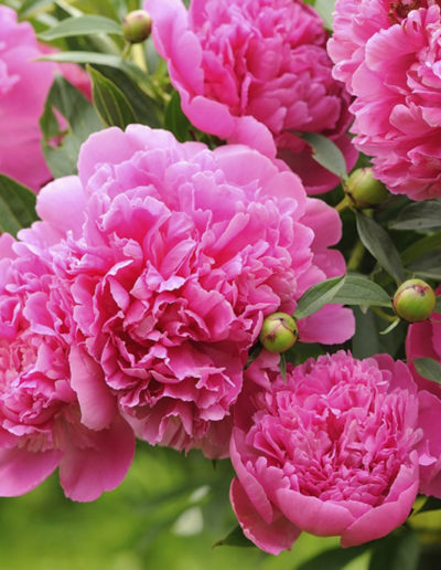 A beautiful blooming peony bush with pink flowers in the garden – horizontal orientation